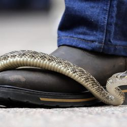 A rattlesnake moves across the top of a handler's boot at the Capitol, Monday, Feb. 2, 2015, in Austin, Texas. Members of the Sweetwater Jaycees brought rattlesnakes to promote their annual rattlesnake round-up and help educate visitors.