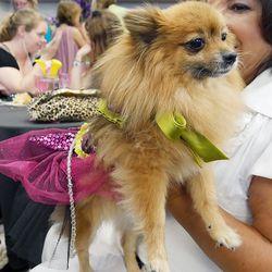 Another precious Pomeranian.