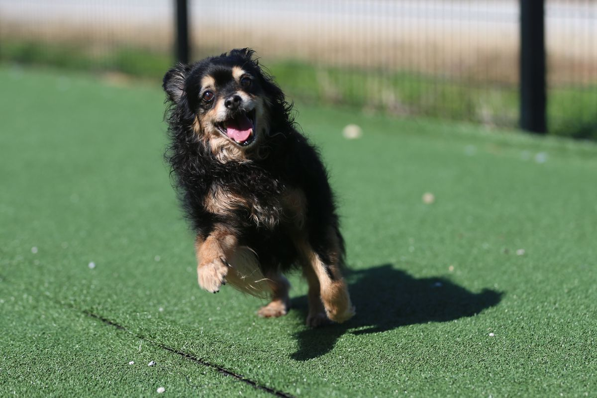 A small-breed black dog with tan accents frolicks toward the camera on artificial grass.
