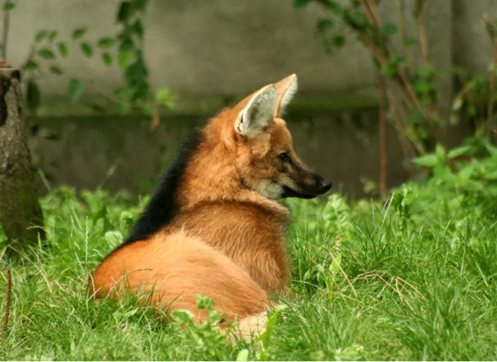 The Verge Review of Animals: the maned wolf - The Verge