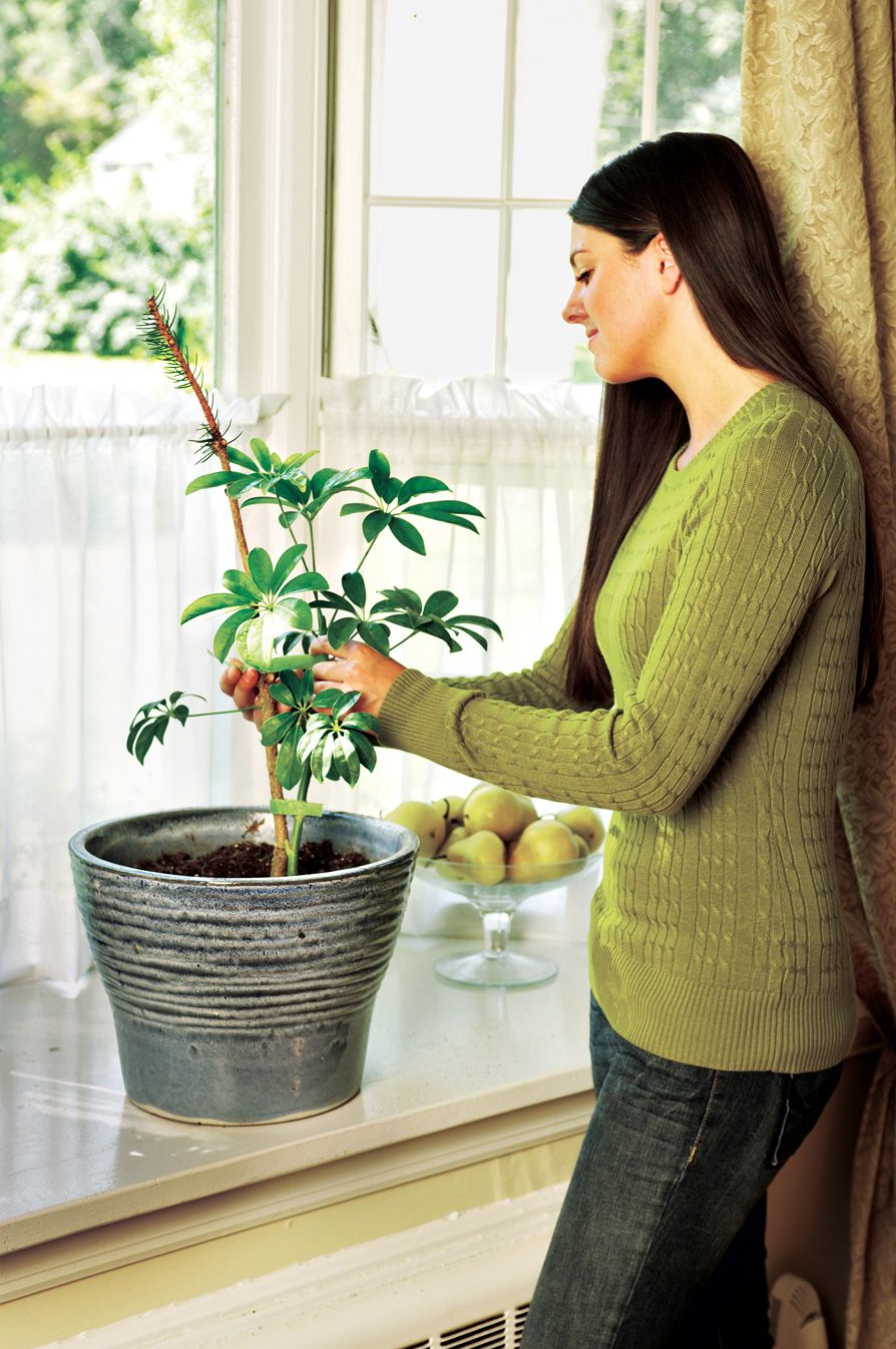 Person using a small branch from an Old Christmas tree to stake a potted plant.