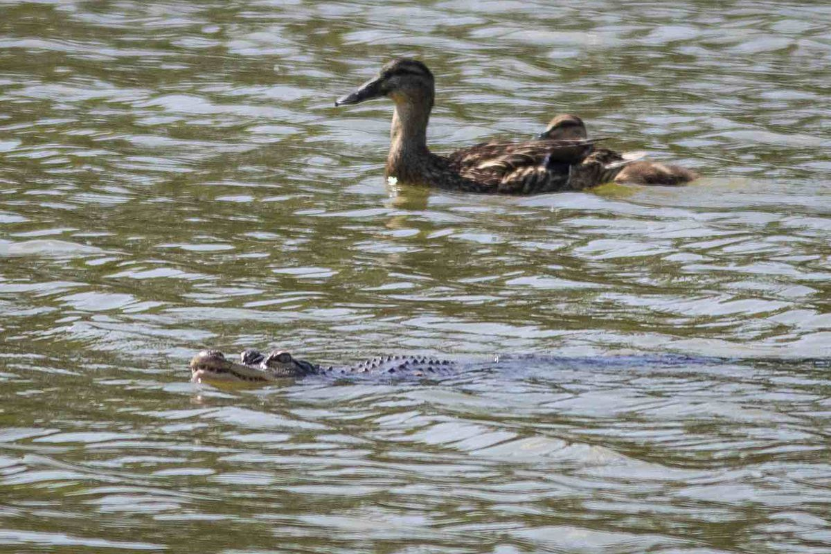 A duck swims along in the Humboldt Park lagoon Wednesday apparently unbothered by an alligator that's been evading a gator-hunter.