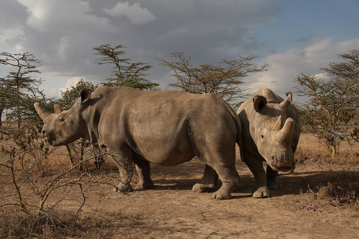 Inside the high-tech plot to save the northern white rhino