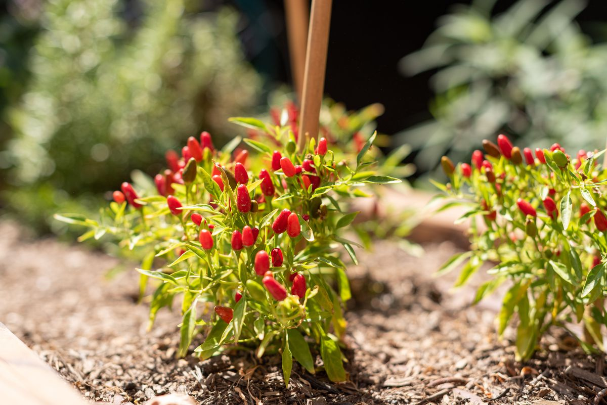 Short red peppers in a new planter box in the sun.