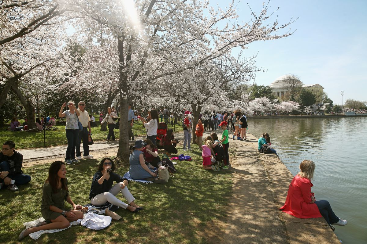 Cherry Blossoms Begin To Bloom In Washington, DC