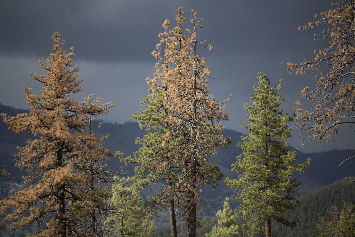 Forest Service Study Shows Over 12 Million Trees In CA's Nat'l Forest Have Died Due To State's Drought