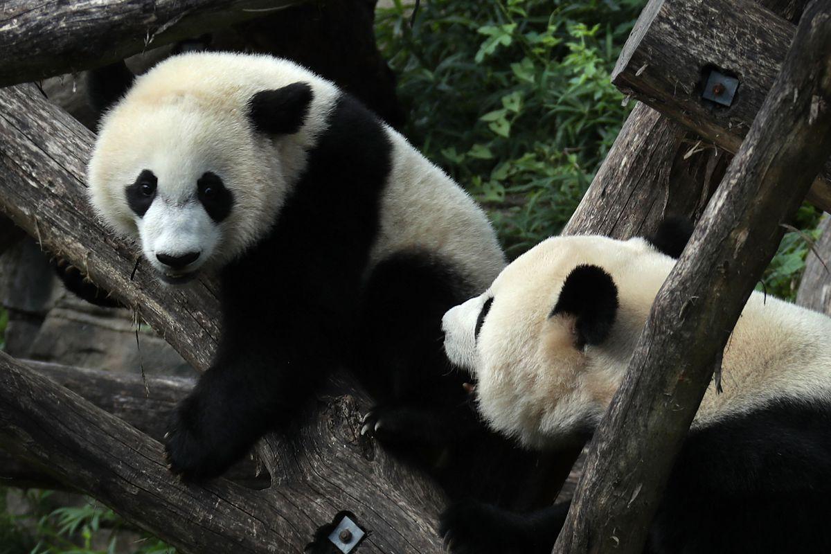 Smithsonian Zoo's Baby Panda Bei Bei Turns One