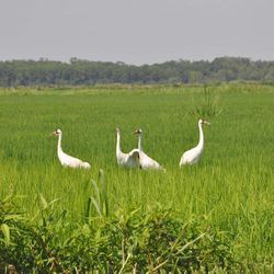 This photo, taken in June 6, 2011 in an Evangeline Parish rice field and provided by the LSU AgCenter and U.S. Geological Survey, shows four of the first 10 whooping cranes brought to southwest Louisiana under a federal-state project to bring one of the world's tallest and rarest birds back to southwest Louisiana. Only one of those birds is known to be still alive. Two were shot by teenage hunters and one is missing.  Federal and state agencies are trying to establish a flock in the area where the state's last flock lived. Of 26 cranes brought in 2010 and 2011, 14 survive. Another 14 are scheduled to arrive in late November.