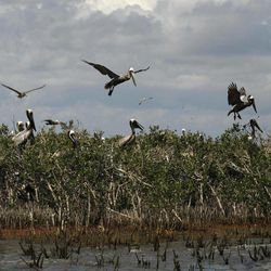 FILE - In this May 22, 2010 file photo, Pelicans are seen nesting on mangrove on Cat Island as oil from the Deepwater Horizon oil spill impacts the shoreline below, in Barataria Bay in Plaquemines Parish, La.
