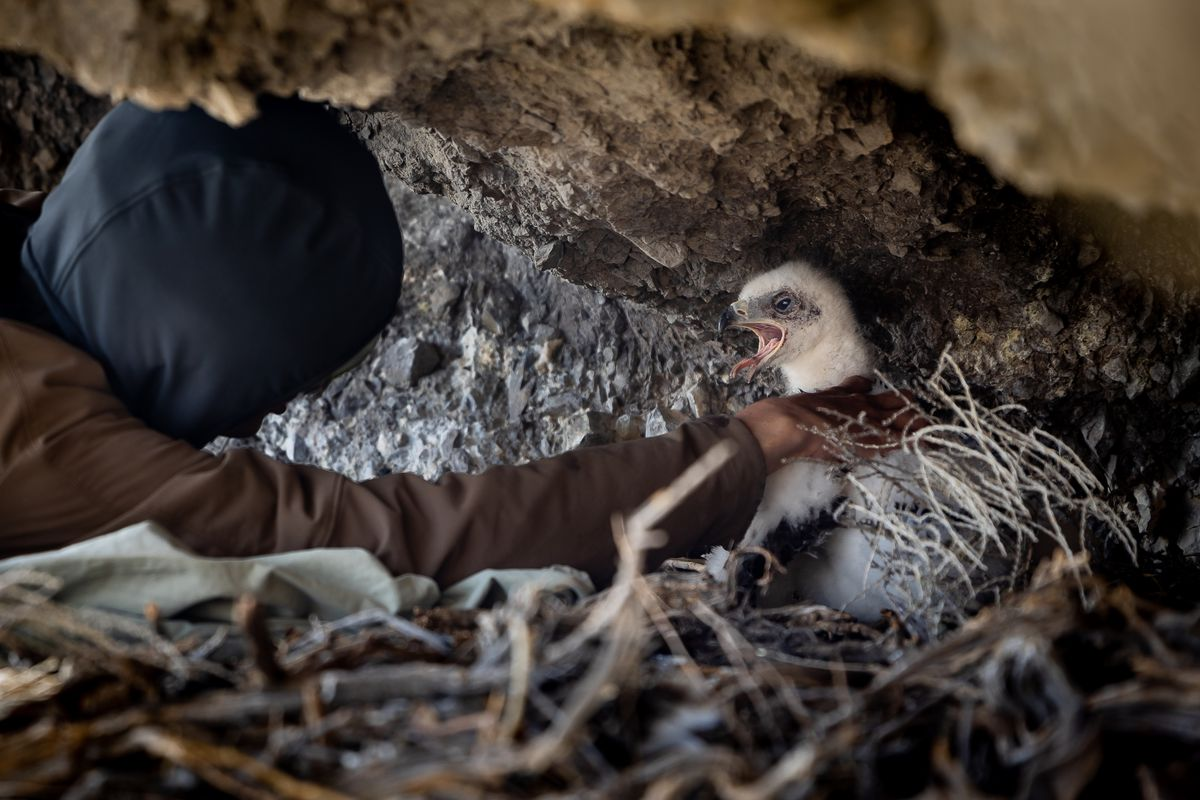 Hawkwatch International research associate Dustin Maloney prepares to remove a golden eagle nestling from its nest in order to take samples and data in a remote area of Box Elder County on Thursday, May 20, 2021.