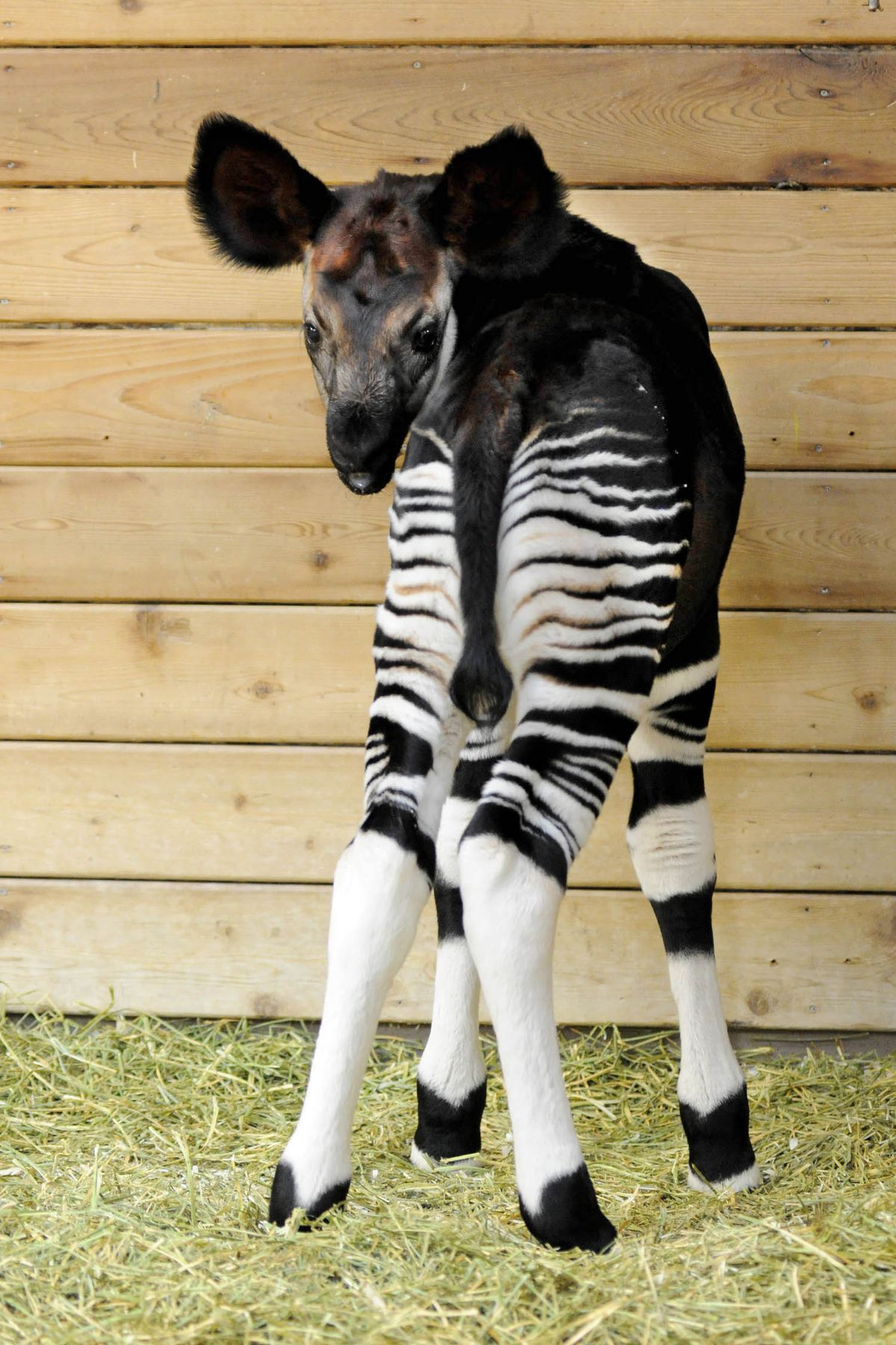 An okapi calf was born at Brookfield Zoo on April 21. |Jim Schulz/Chicago Zoological Society