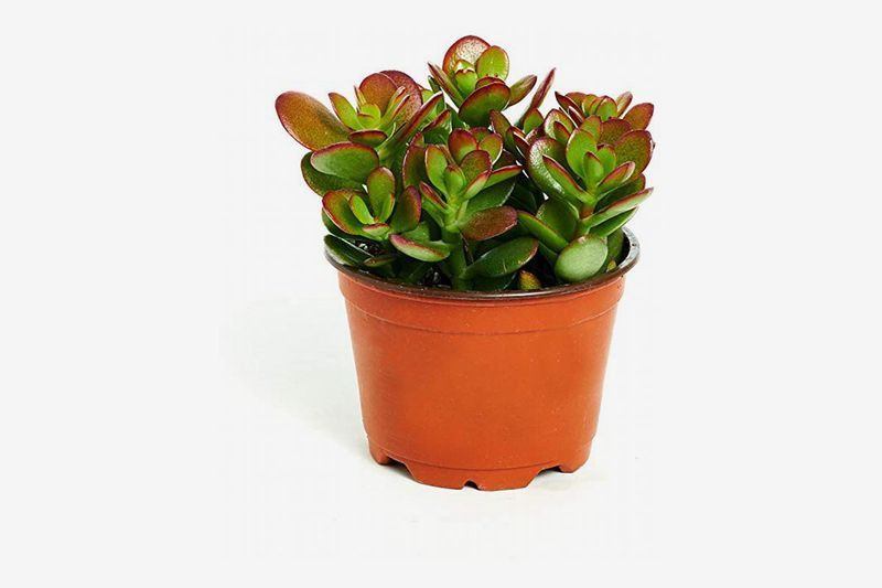 Small terra cotta planter with a green and red plant.