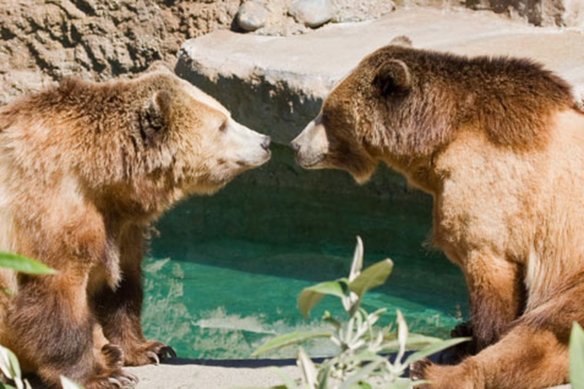 """Party at the zoo this weekend for Fur Ball. Proceeds benefit bears, and other fuzzy creatures. Image via <a href=""""http://www.sfzoo.org/explore/animals/mammals/grizzlybear.htm"""">SF Zoo</a>"""