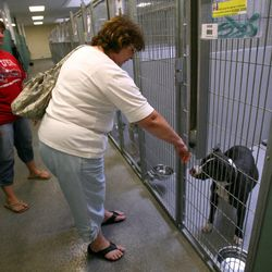 Jodi Reed, left, and her mother Lori Bray look at a pit bull at the West Valley City Animal Shelter in West Valley City on Saturday, Sept. 1, 2012.