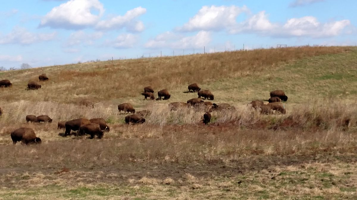 """A chance to see bison on the range is part of the appeal of Nachusa Grasslands,one treasure mentioned in """"Nature in Chicagoland."""" Credit: Dale Bowman"""