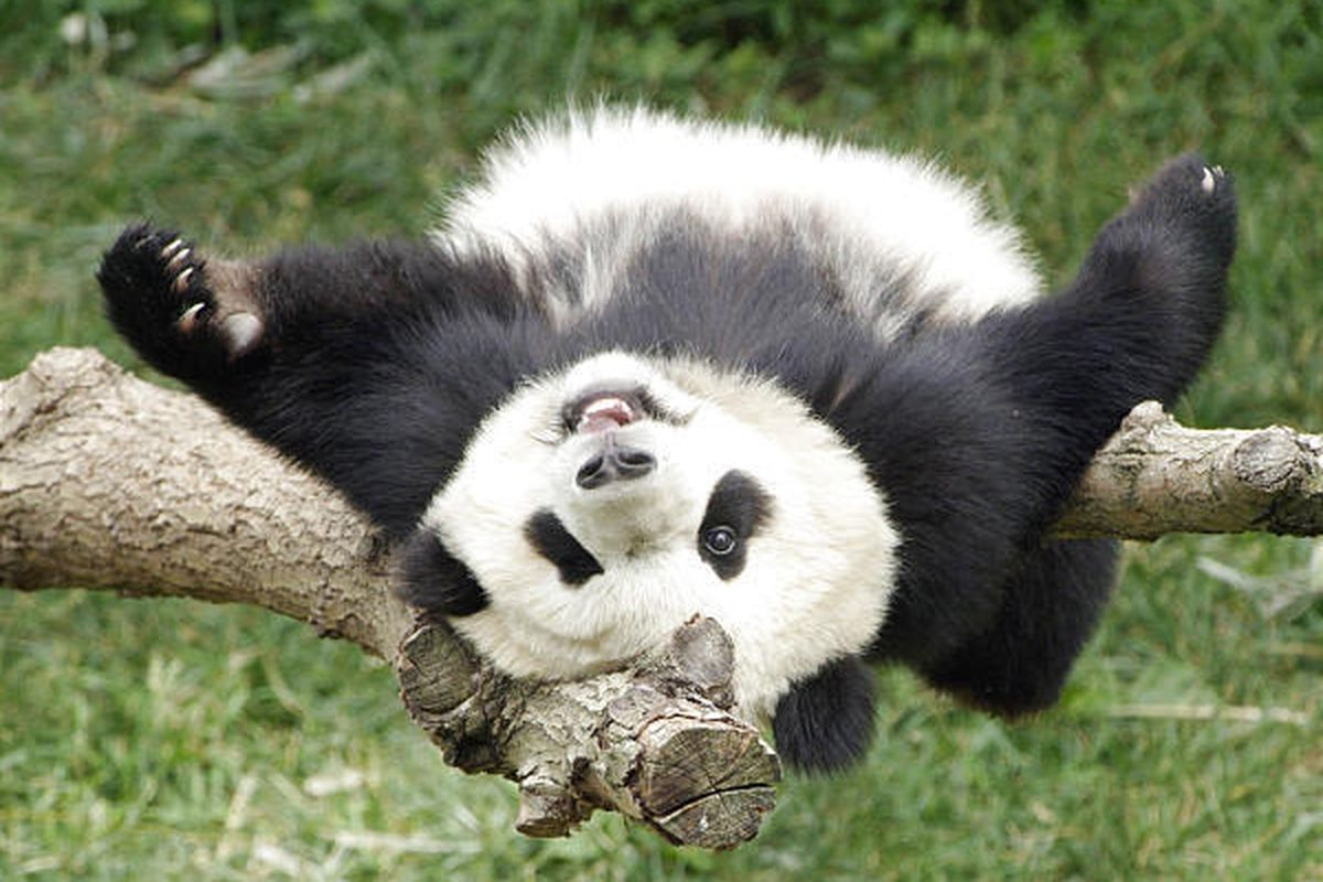 Tai Shan, the National Zoo's giant panda cub, plays at the zoo. Many are turning to zoo livestreams during COVID-19 for a calming and free source of entertainment.