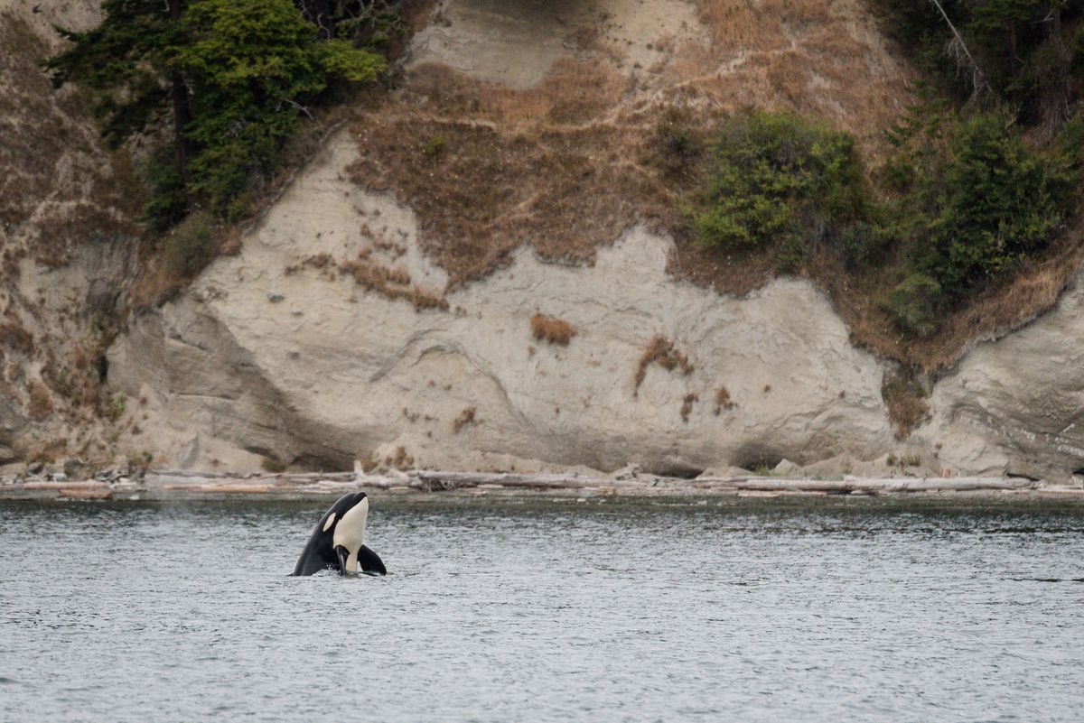 Below a rocky cliff with clay deposits, an orca pokes its head and fins out of the water.