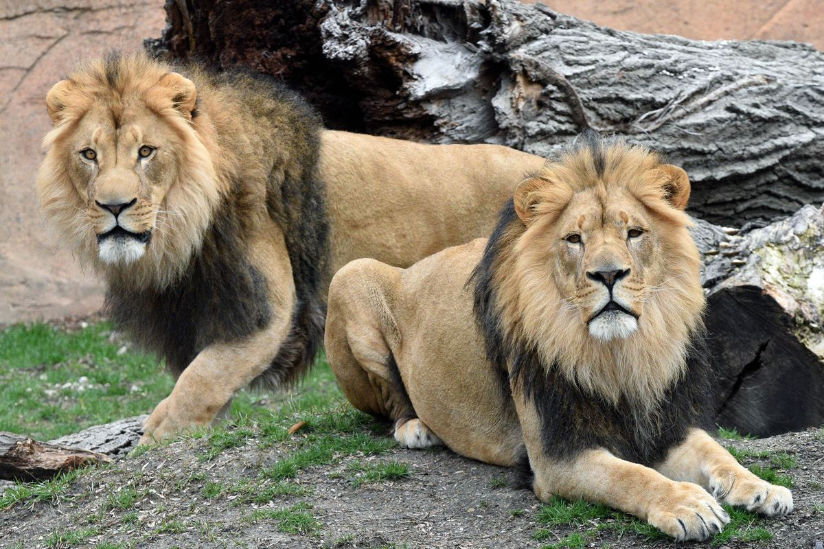Lions Titus and Brutus, 4-year-old siblings, arrived at Brookfield Zoo on March 17.