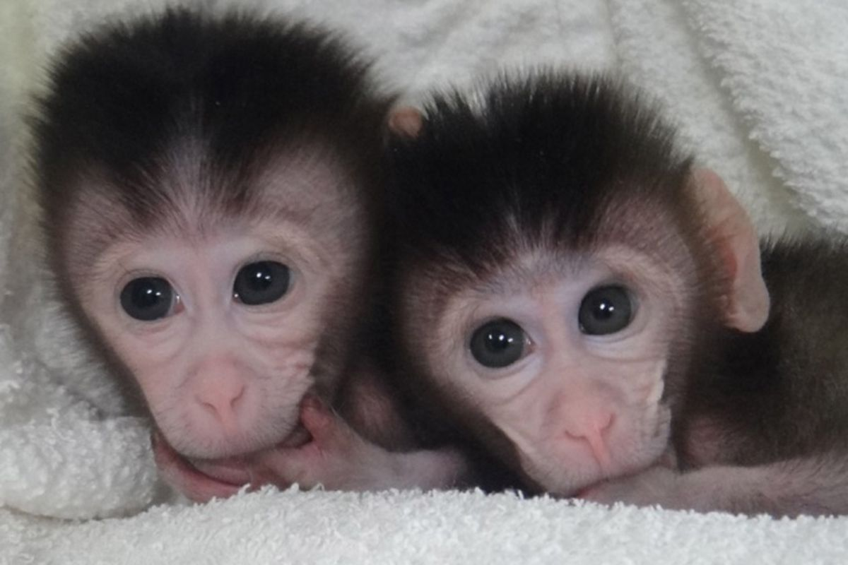 genetically customized monkeys