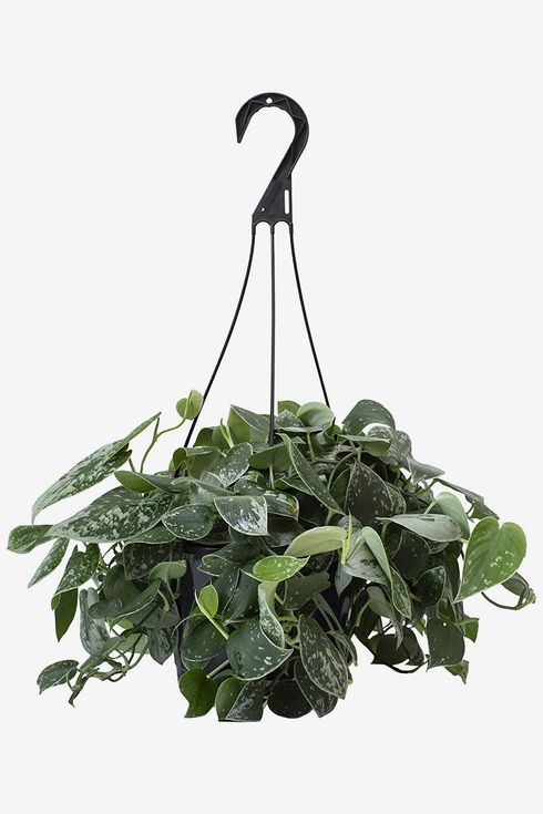 Hanging planter with dark green leaves.