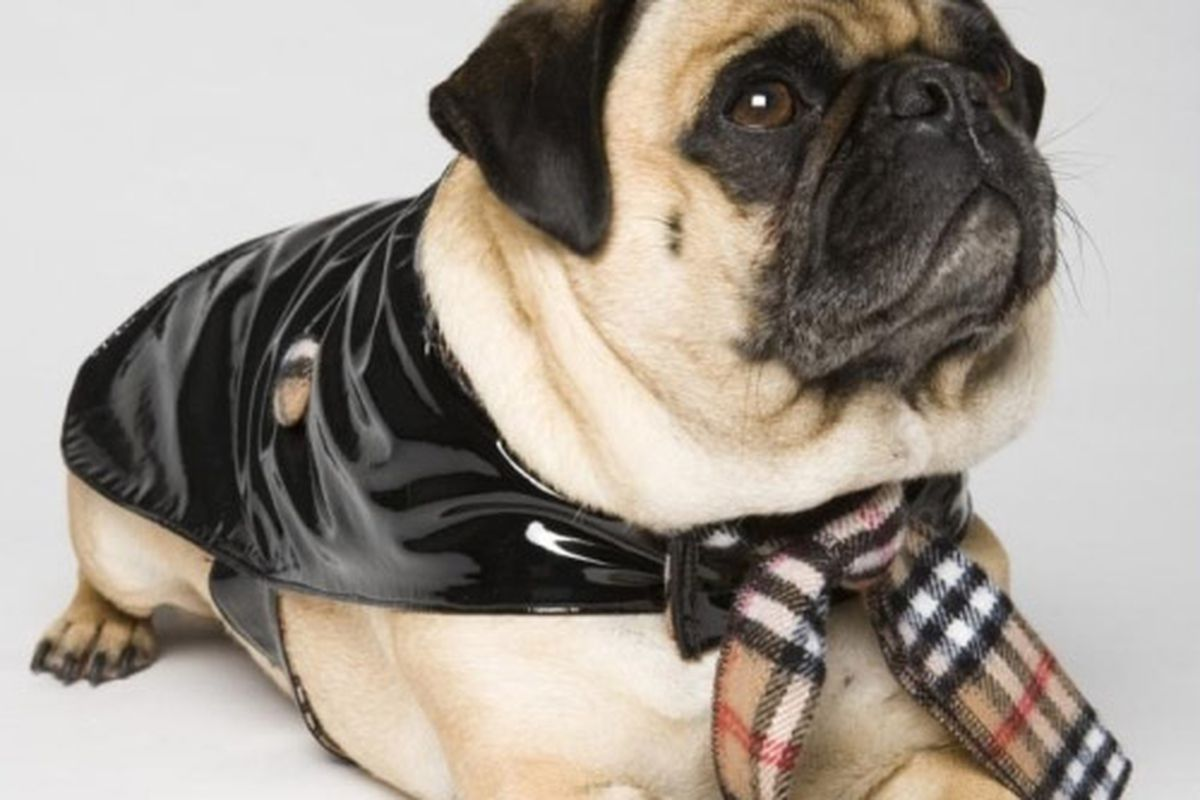 """Burberry's cracking the whip on pooch accessory shop Pets at Home. Image via <a href=""""http://www.barronstreasures.com/images/thumbs/050507_Shot11_015.jpg&amp;imgrefurl=http://www.barronstreasures.com/dogs/Designer-Dog-Couture-Clothing/Deni-Alexander"""