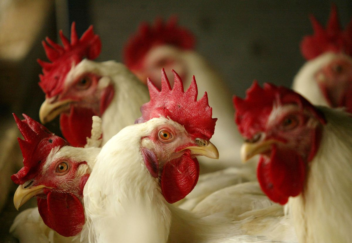 A severe-seeming chicken stands in a group of other chickens.