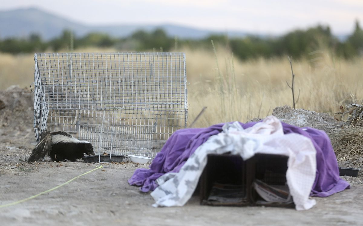 A skunk eats food left in a trap for feral cats in West Jordan on Monday, July 13, 2020. After being trapped, the cats are spayed or neutered and then released back to the locations where they were caught.