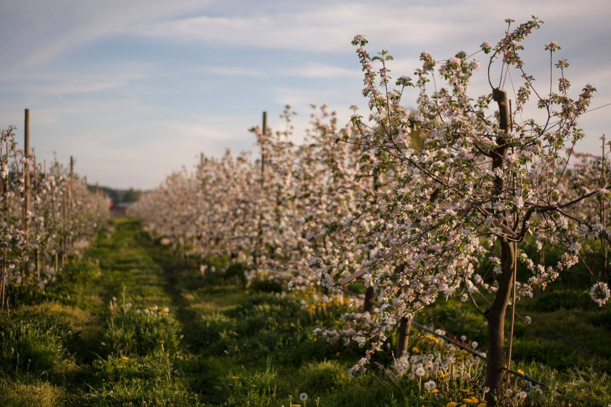 The Finnriver orchard in bloom