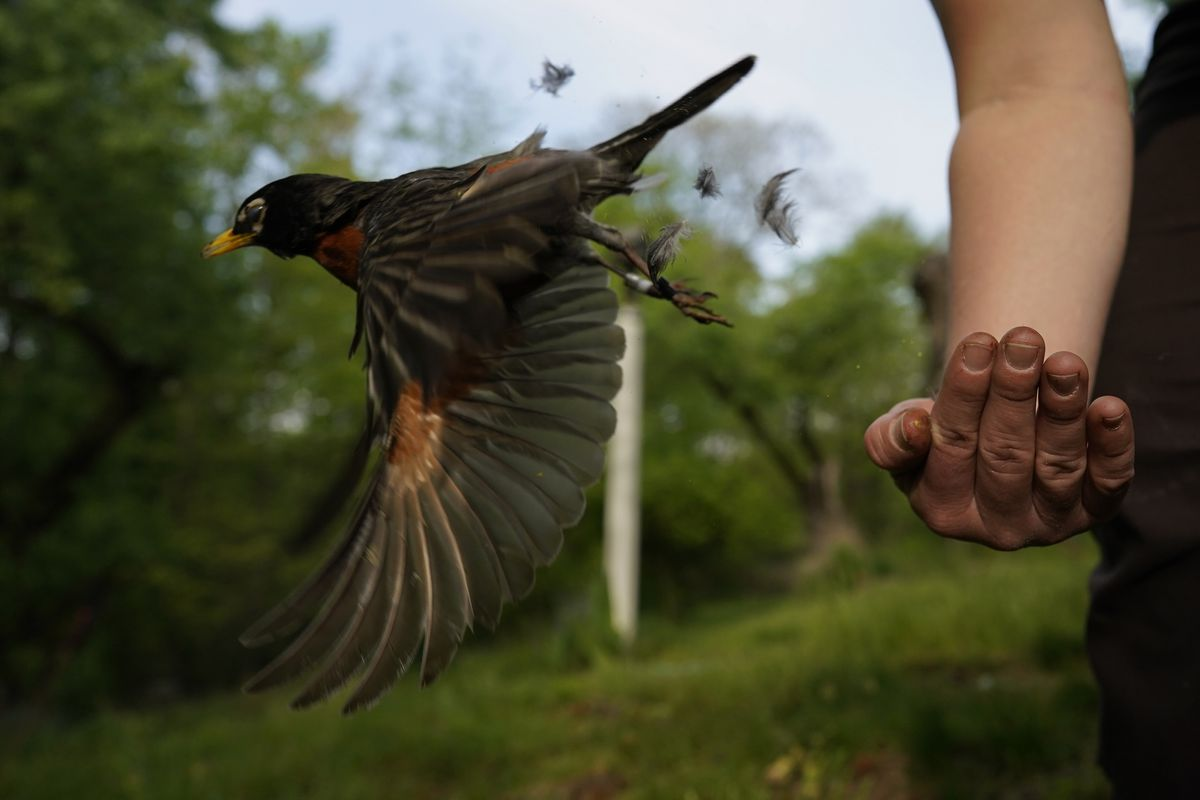 Emily Williams releases an American robin that was too light to be fitted with an Argos satellite tag.