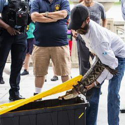Florida alligator expert Frank Robb removes the Humboldt Park alligator from a plastic holding container at a news conference Tuesday.