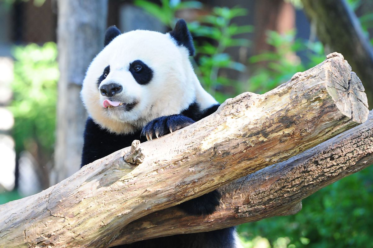 Bei Bei the giant panda at the National Zoo. He is sticking his tongue out from a tree branch.