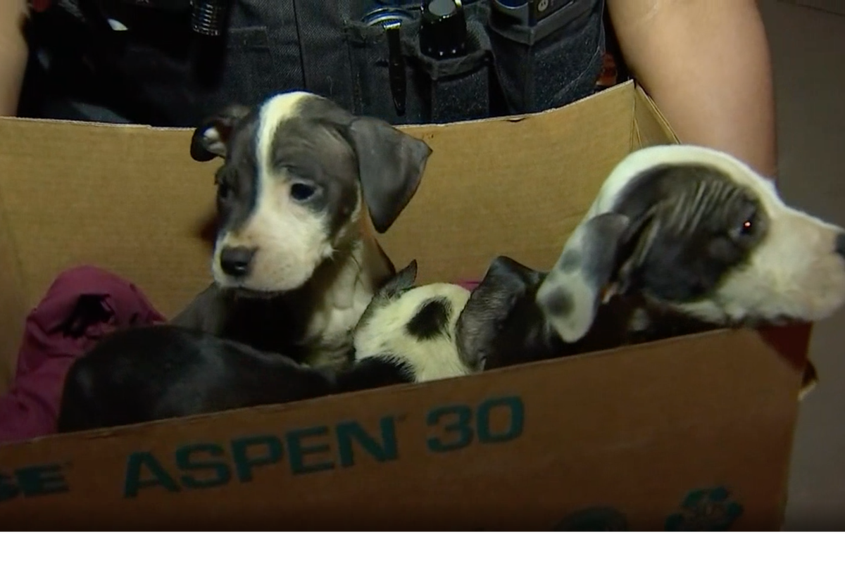 Police found a box of puppies in the street July 9, 2019, in Englewood on the South Side.