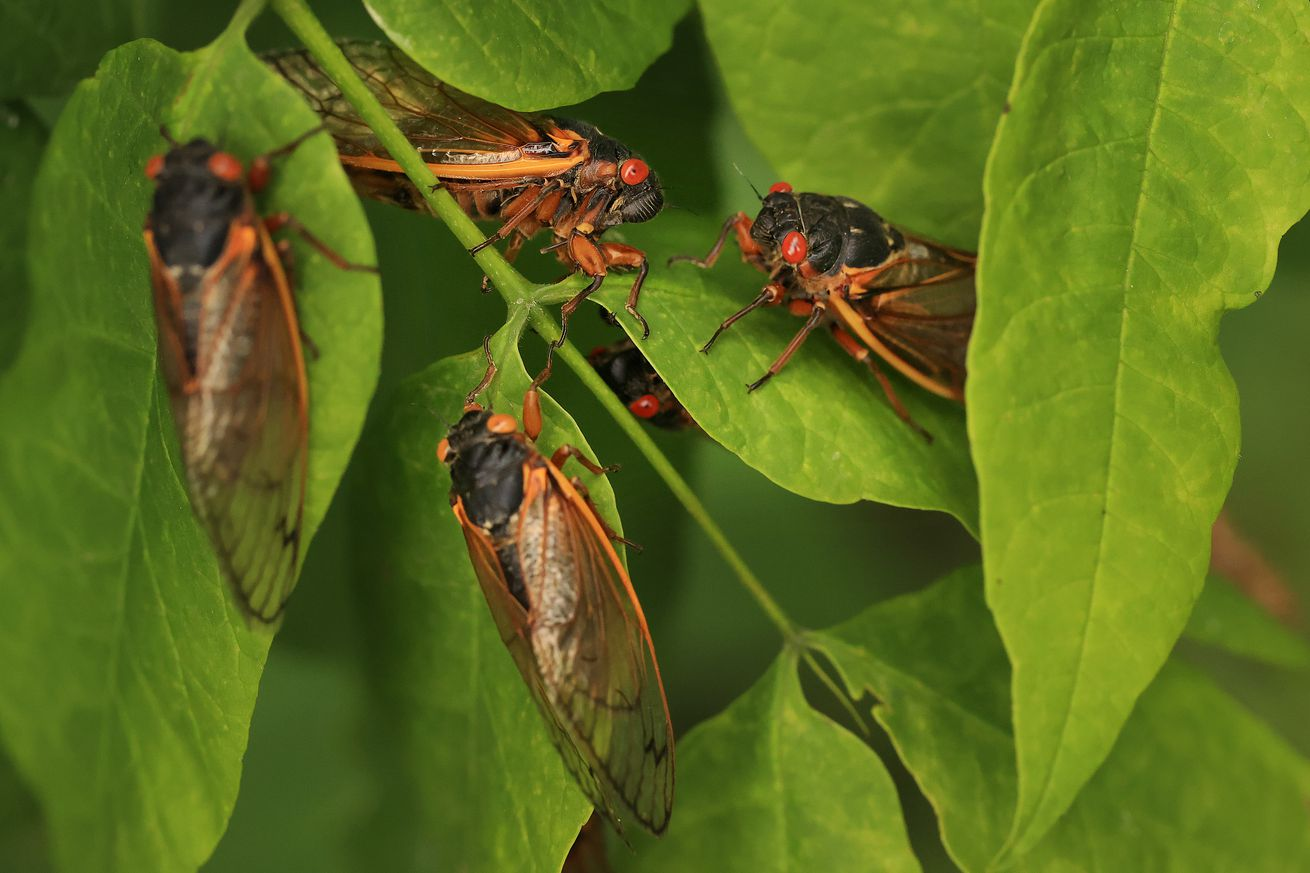 Five cicadas hanging out on some lush green leaves.