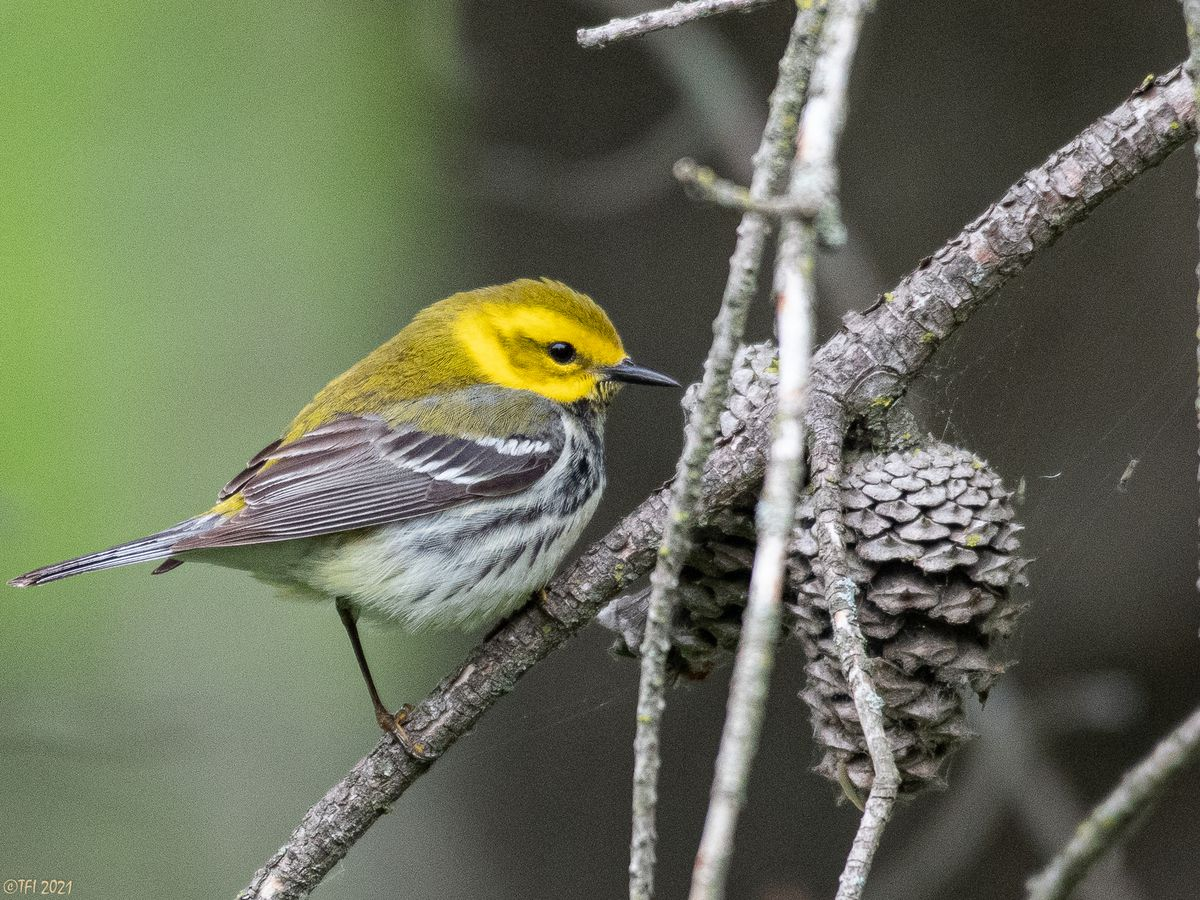 Black-throated Green Warbler spotted at Montrose Point Bird Sanctuary on Thursday, May 20, 2021.