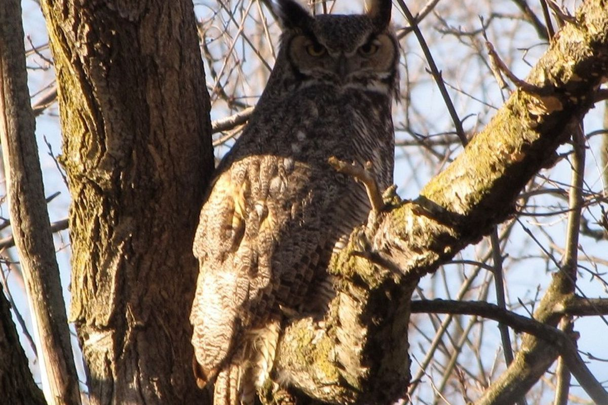 Great horned owl in the suburbs. Provided by Joe Spence