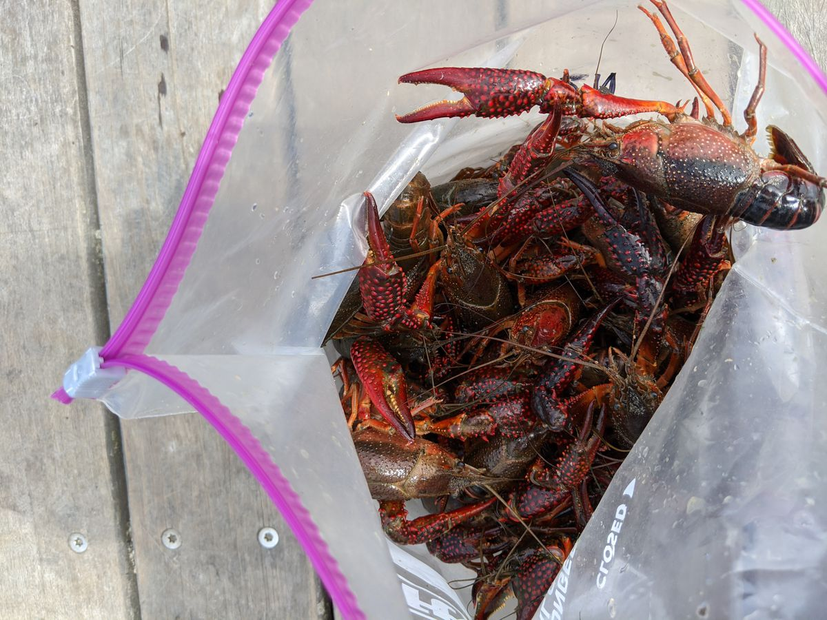 A bag of invasive red swamp crayfish, just part of one day's catch on the North Shore Channel and the North Branch of the Chicago River by the Keller Lab of Loyola University. Credit: Dale Bowman