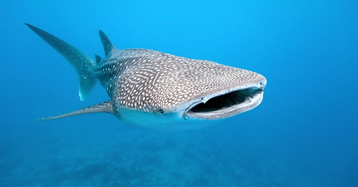 International_whale_shark_day