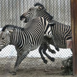 Ziva, a Hartmann's mountain zebra, who gave birth to a male zebra on Friday, Jan. 15, 2021, gives a warning kick to another zebra as she and her baby get used to their enclosure in the African Savanna exhibitat Utah's Hogle Zoo in Salt Lake City on Thursday, Jan. 28, 2021. The zoo is encouraging the community to help name him by going to the zoo's Facebook page.