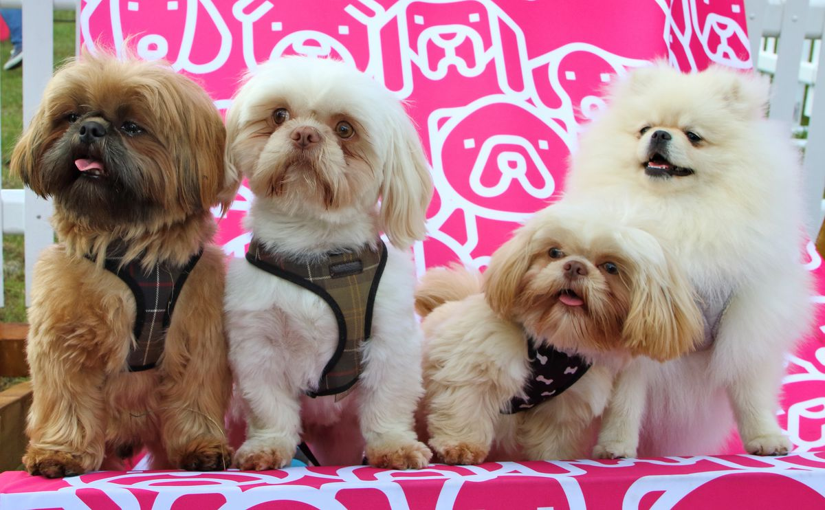 A group of Shih Tzu dogs are seen posing for camera during...