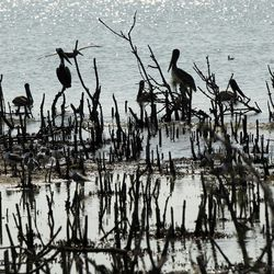 Pelicans are seen sitting on dead mangrove stumps that were formerly nesting grounds atop the mangrove on Cat Island in Barataria Bay in Plaquemines Parish, La., Wednesday, April 11, 2012.