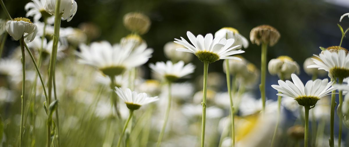 Shasta daisies are pictured in the Jordan Valley Water Conservancy District garden in West Jordan on Thursday, July 29, 2021.