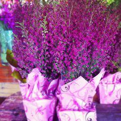 Heather Plants, $15