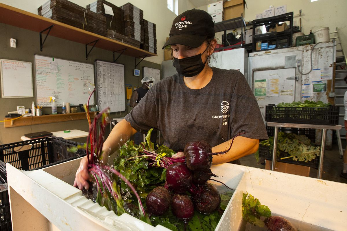 Freshly harvested beets being placed in a cardboard box by a person wearing a black mask and baseball cap.