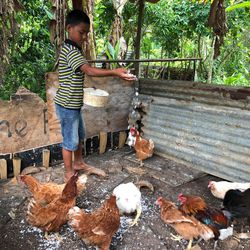 Tēvita Tu'avao, 10, feeds grated coconut to the chickens in his family's coop earlier this month at their home in the Tongan village of Talafo'ou. To feed themselves since the start of the pandemic, Tongans have come to rely more heavily on native fruit and their own ability to raise pigs and chickens.