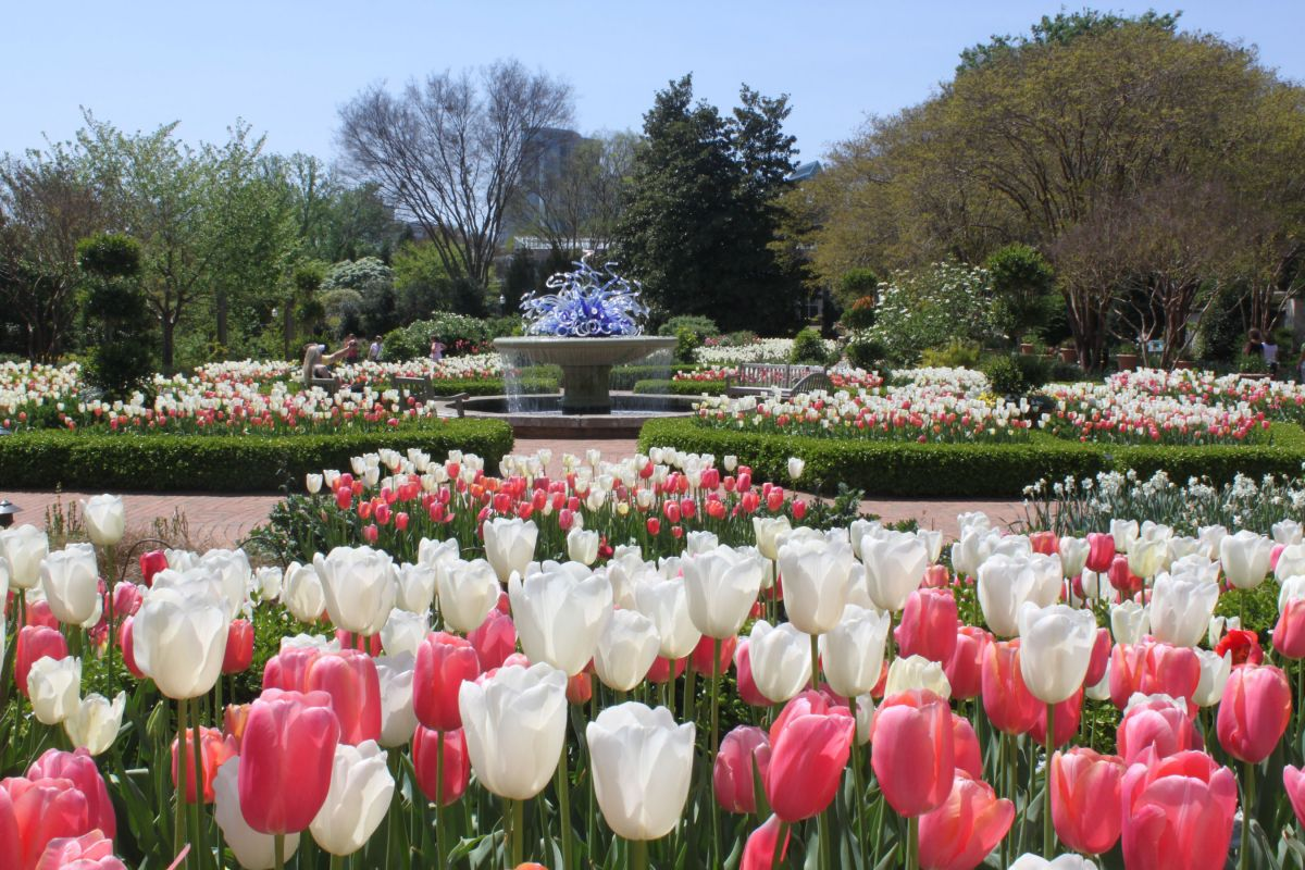 In the foreground are rows of white and pink tulips. In the distance is a fountain and trees.