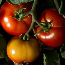 If you have too many tomatoes to use right now, try slow-roasting them and turning them into a thick, rich tomato sauce.
