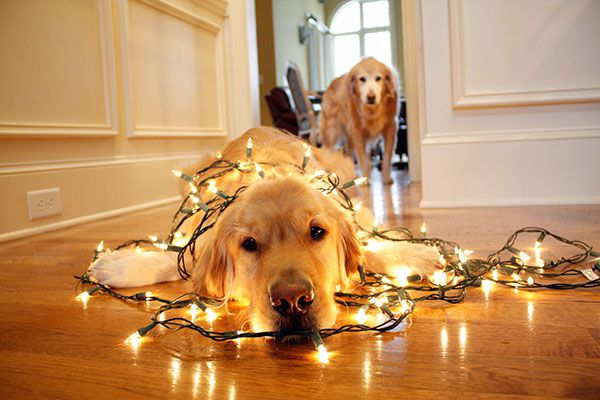 A dog wrapped up in Christmas lights.
