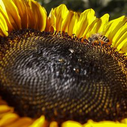 A honey bee collects pollen from a sunflower at the Cross E Ranch Sunflower Festival in Salt Lake City on Tuesday, July 14, 2020. The festival features a 14-acre sunflower field planted with over 20 varieties of different shapes, sizes and colors.