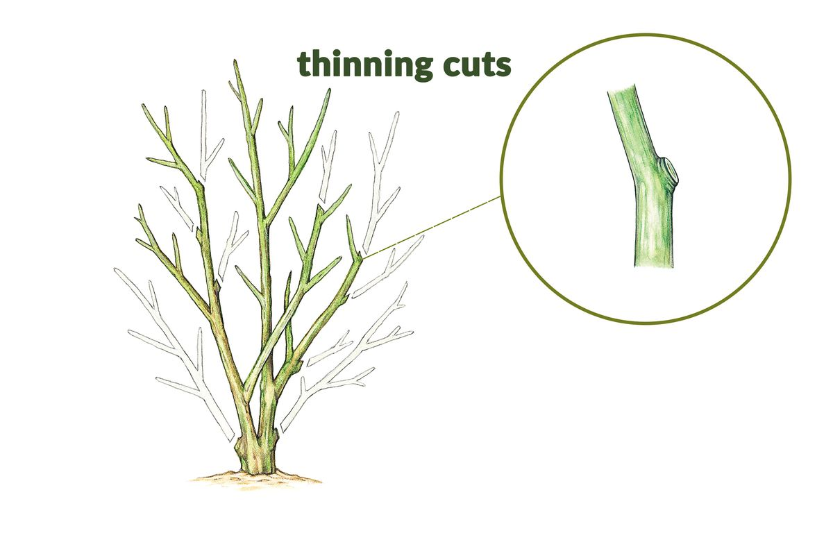 Thinning cuts remove an entire branch where it meets another limb, the main stem, or the ground. They should be made as close to this junction as possible. These cuts help maintain the plant's natural shape, limit its size, and open up the interior branches to light and air.
