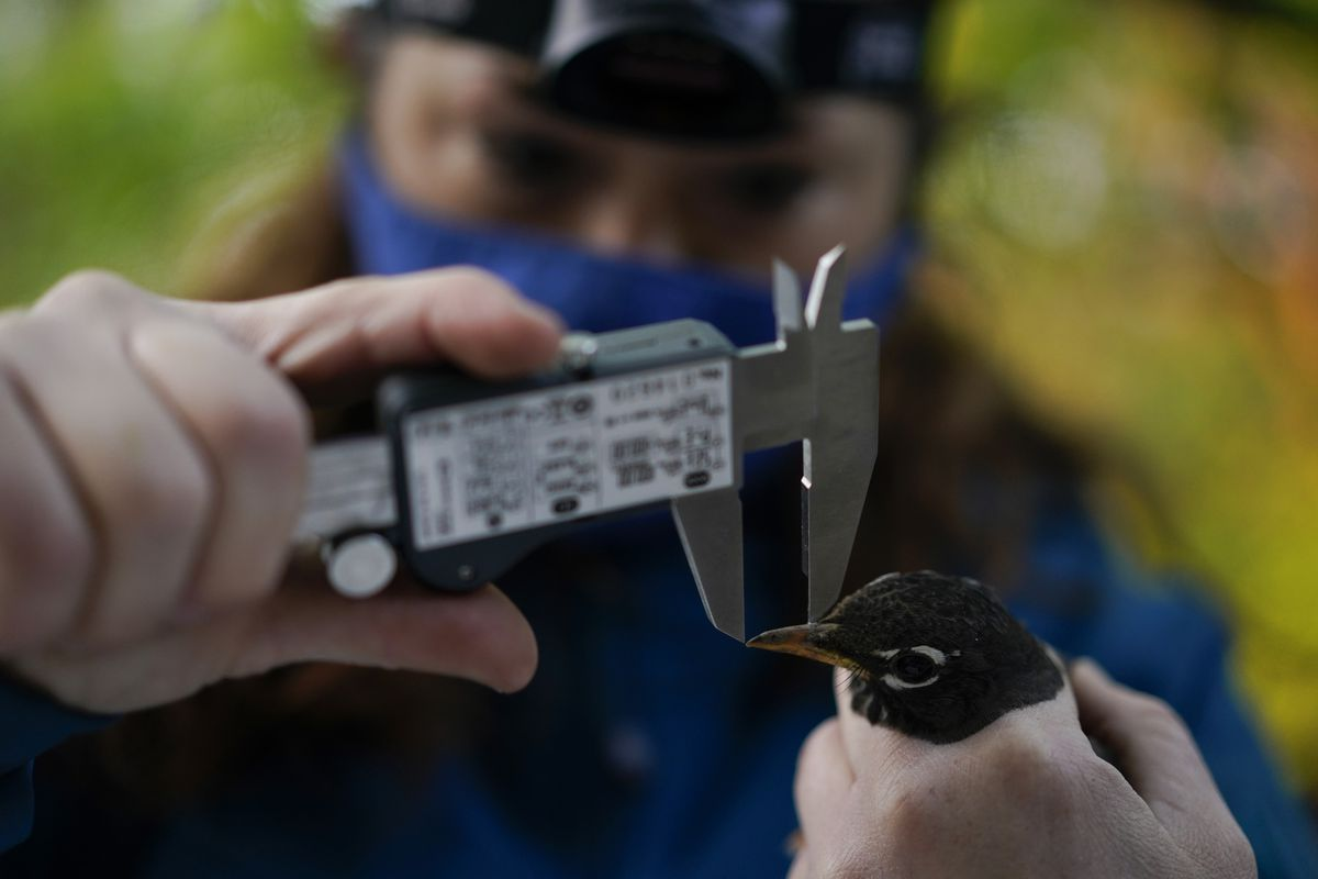 Emily Williams measures the beak of an American robin as she gathers data to possibly fit the bird with an Argos satellite tag,